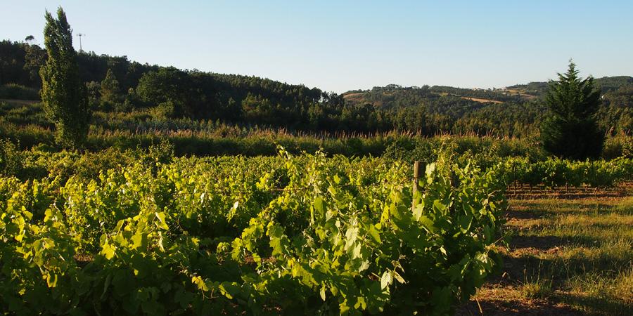 Det finns många vingårdar nära Caldas da Rainha, här utsikt från vingården Farm Holidays Silver Coast på Silverkusten i Portugal.